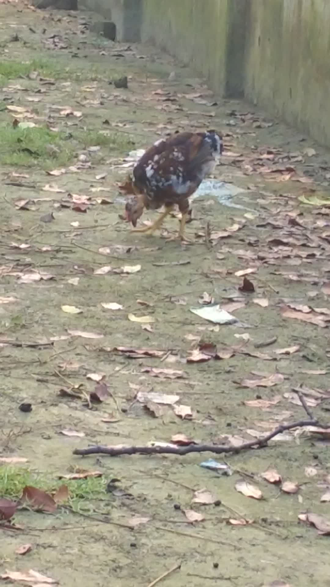 A video of native chicken