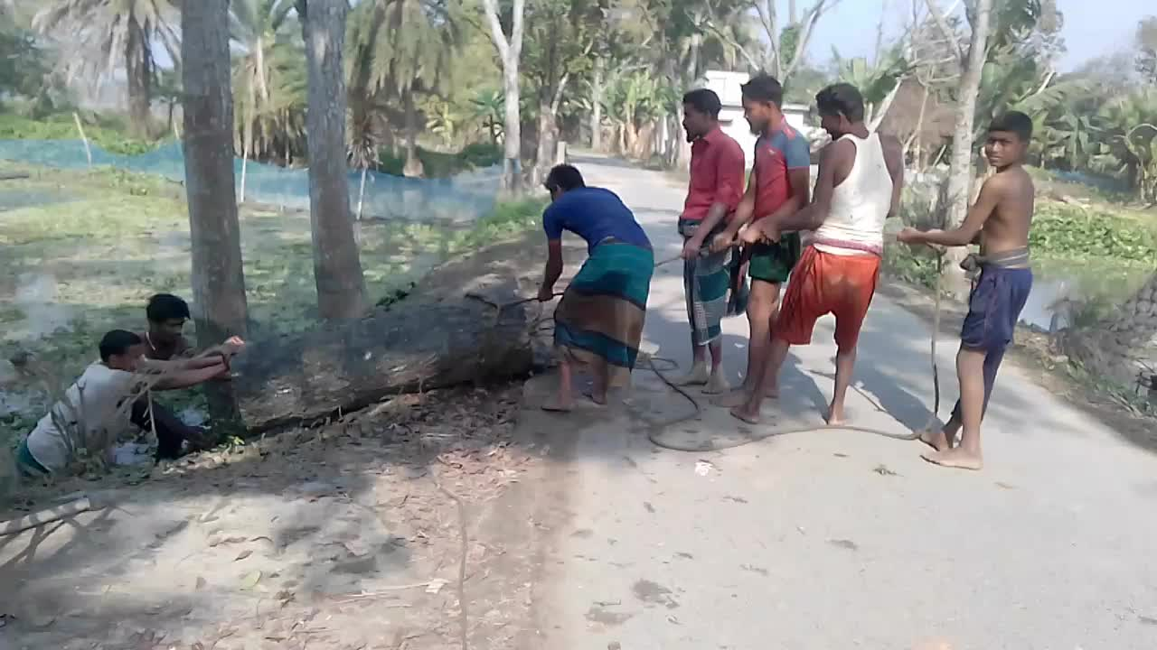 The trunk of the tree is being pulled with a rope.