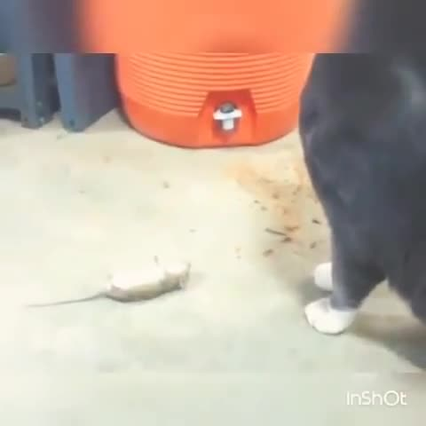 Extraordinary comedy scene of cats and rats🤣🤣