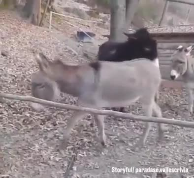 You can watch a video of donkey life laziness here🤣🤣