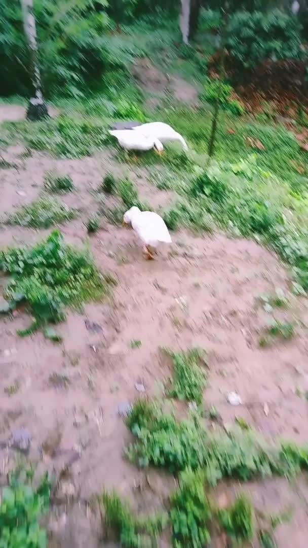This is a video of some swans which I liked to watch on the way to the street.