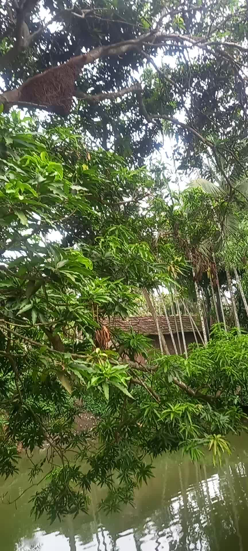 This video shows you a beautiful view of the village with a mango tree and some surroundings and a bee hive in the mango tree.
