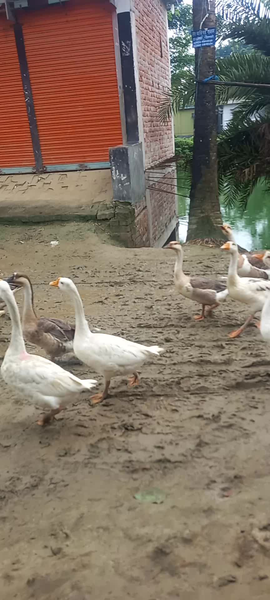 You are shown some swan scenes in the village. See how many rajas are roaming together