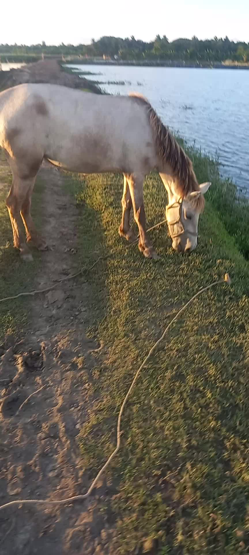 This is a video of a horse eating grass inside when it sounds green. This scene is a beauty of nature in the village.