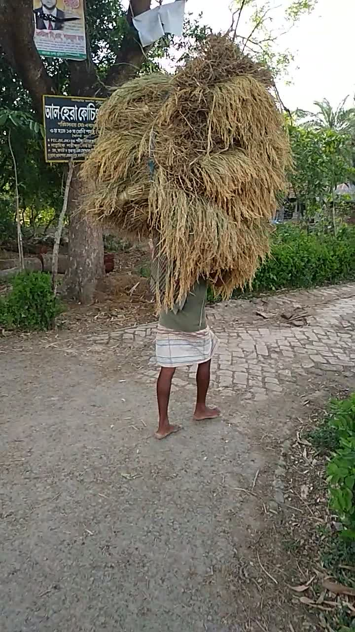 He is collecting paddy from the field and taking it home