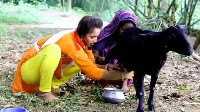 A girl is collecting milk from a goat