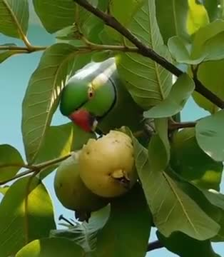 The bird is seen climbing a guava tree and eating guava